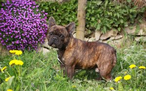 Lazy Dog Breeds – A Guide To Low Energy Dogs