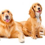 Miniature Golden Retrievers – A Complete Guide