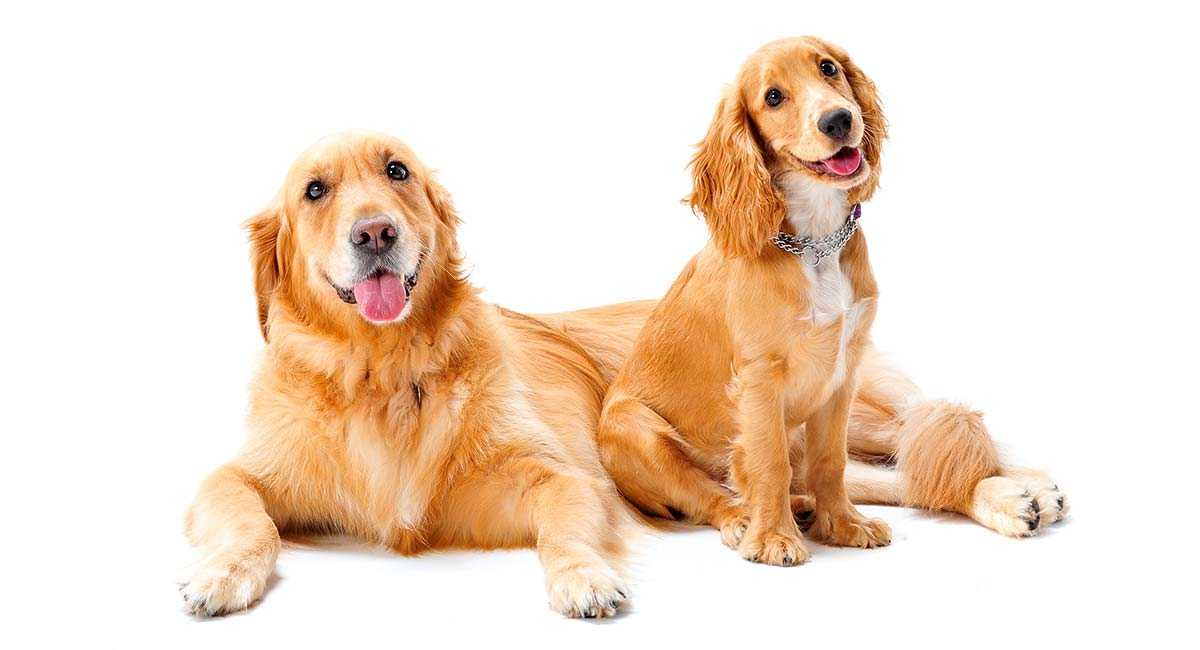 A Complete Guide To Miniature Golden Retrievers by The Happy Puppy Site