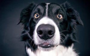 My Dog's Nose Is Dry – Your Dry Dog Nose Guide