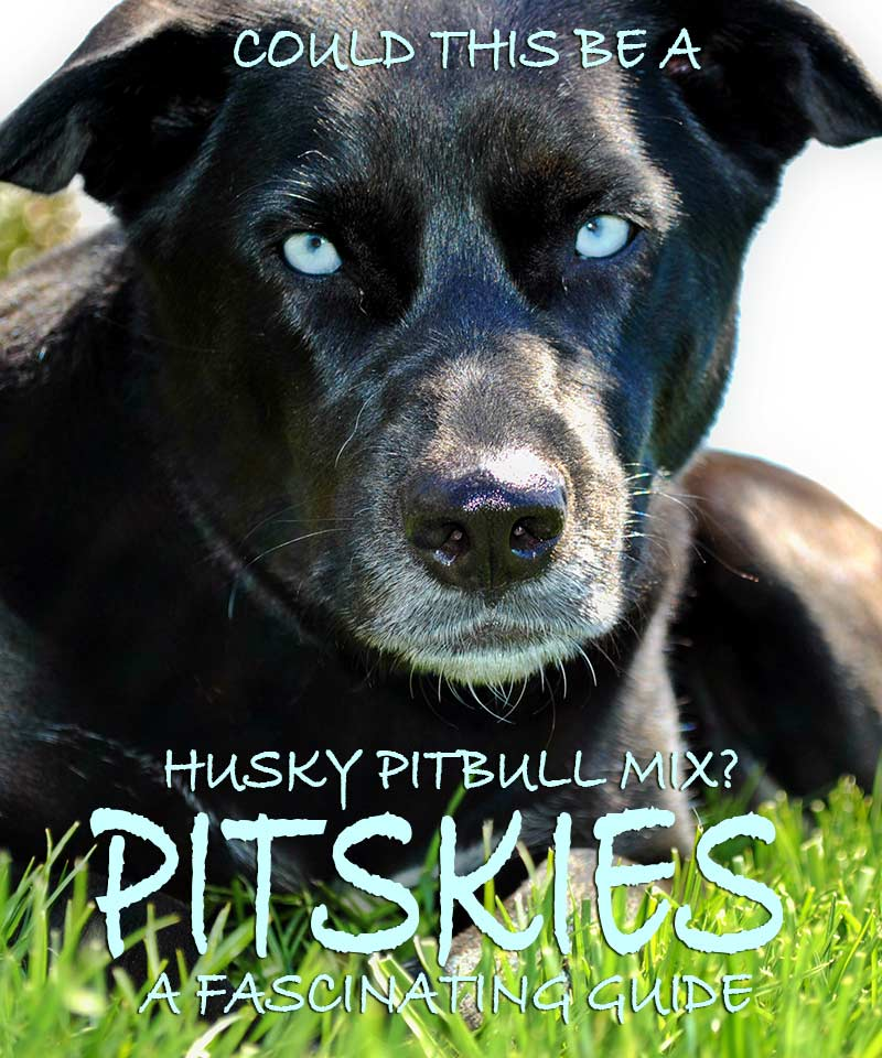 Pitbull Husky Mix - A Complete Guide to the Pitsky