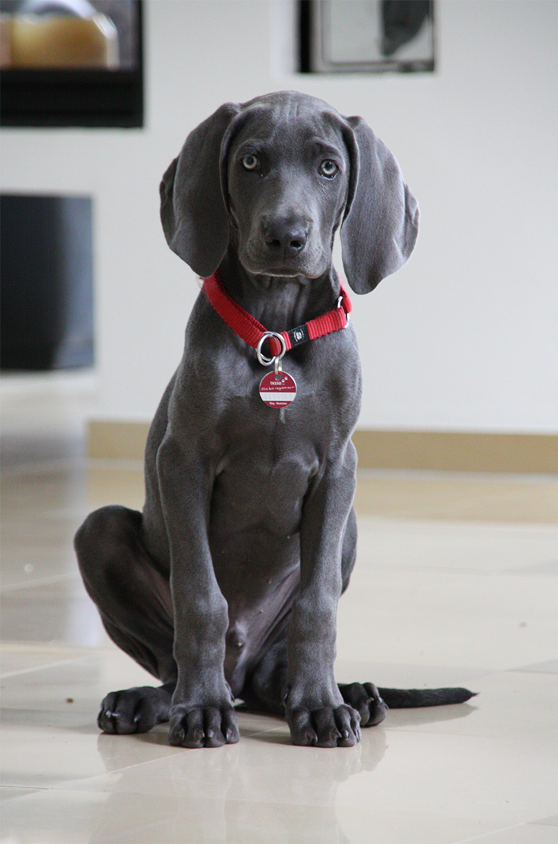 A Complete Guide To The Weimaraner
