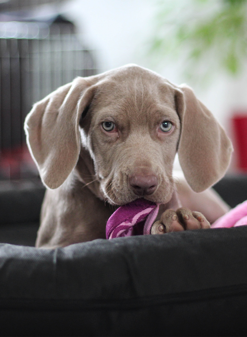 The weimaraner a complete guide the happy puppy site a complete guide to the weimaraner nvjuhfo Image collections