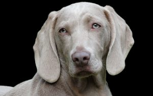 The Weimaraner – A Complete Guide