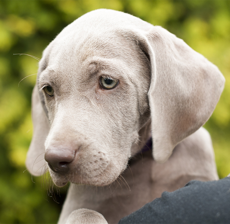 The Weimaraner - A Complete Guide - The Happy Puppy Site