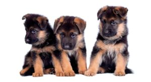 German Shepherd Names: Over 200 Great Ideas for Boy and Girl Dogs