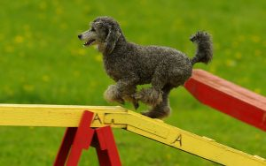 Agility For Dogs – A Complete Guide