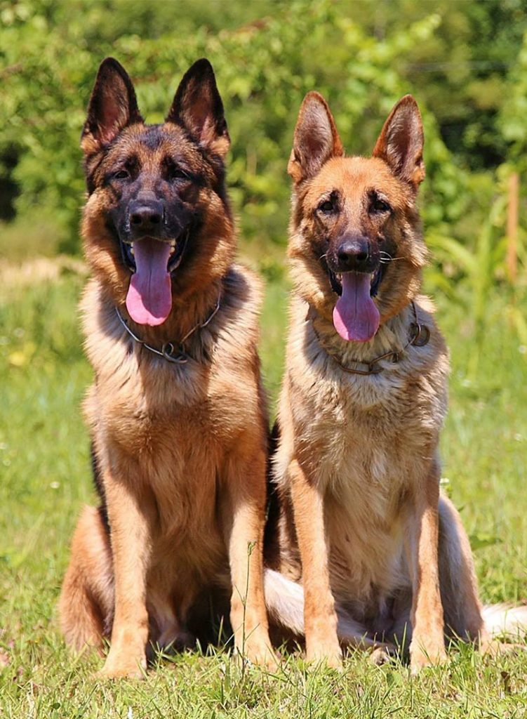 German Shepherd Names: Over 200 Great Ideas for Boy and Girl