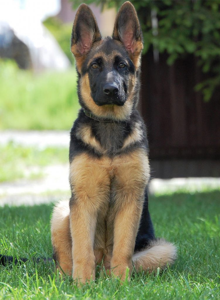 Cool German Shepherd Names