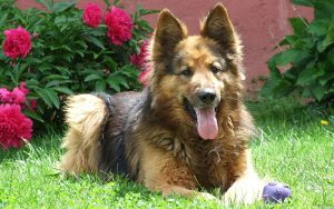 German Shepherd Names – Over 200 Great Ideas
