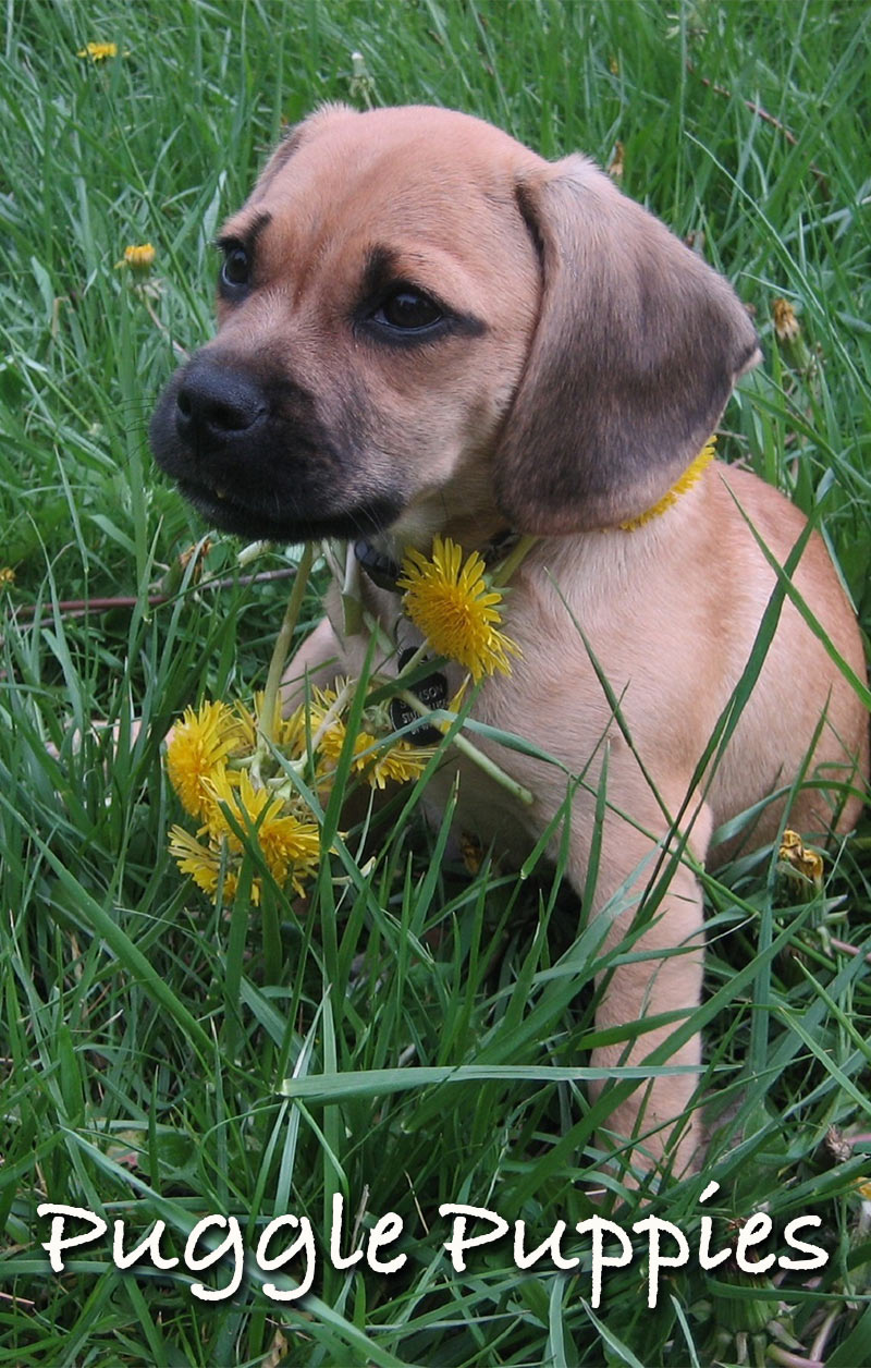 The Puggle - A Pug Beagle Mix