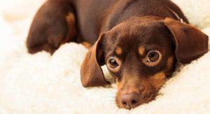 Chiweenie – Your Tiny Chihuahua Dachshund Mix