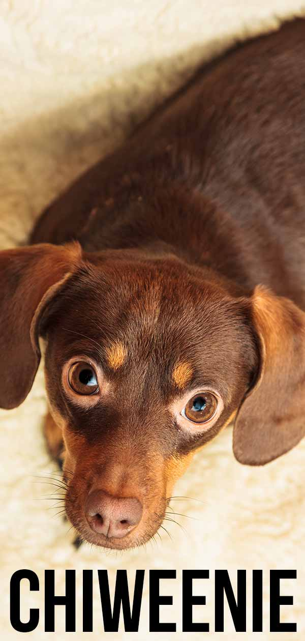 Dachshund Mix with Chihuahua by mixdogbreeds.info