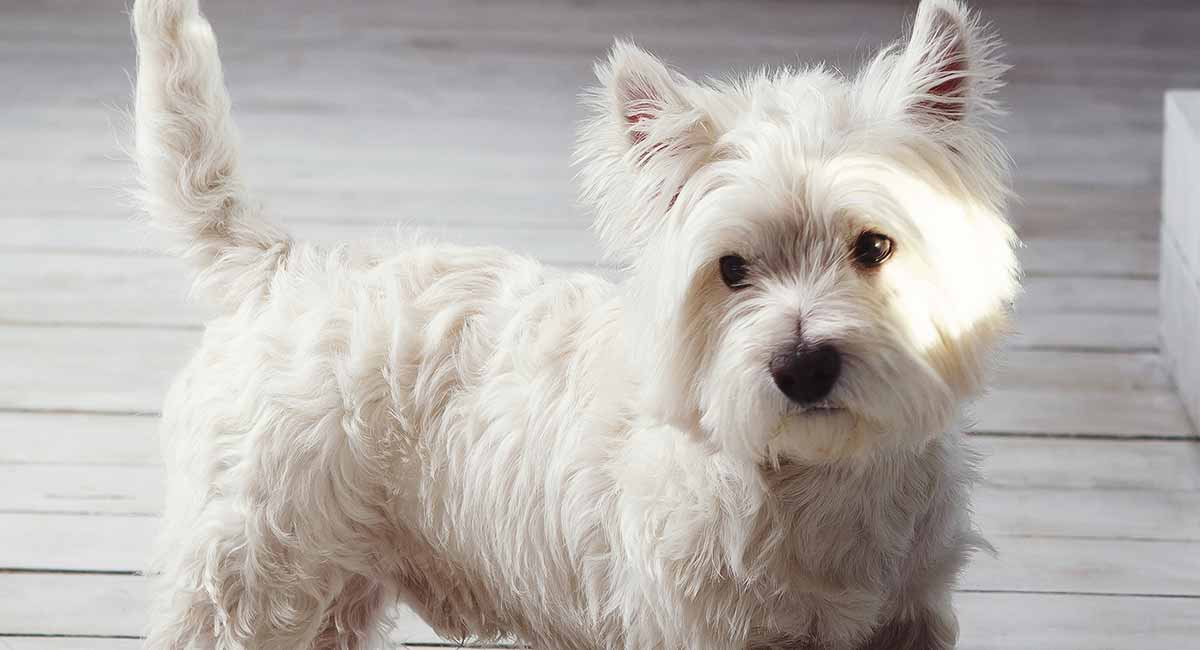 Westie Dog Breed Information Centre For The West Highland