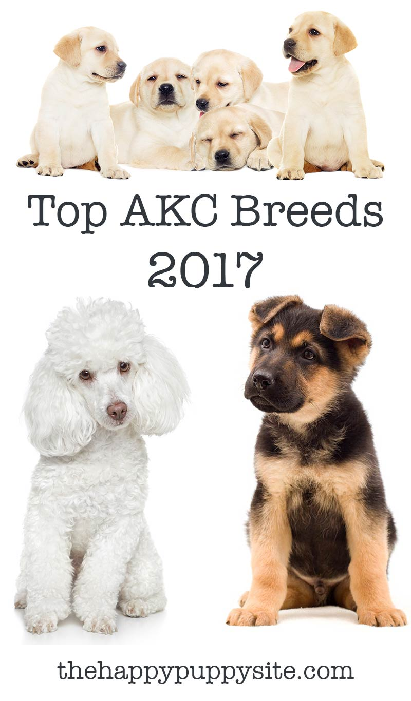 Top AKC Dog Breeds 2017