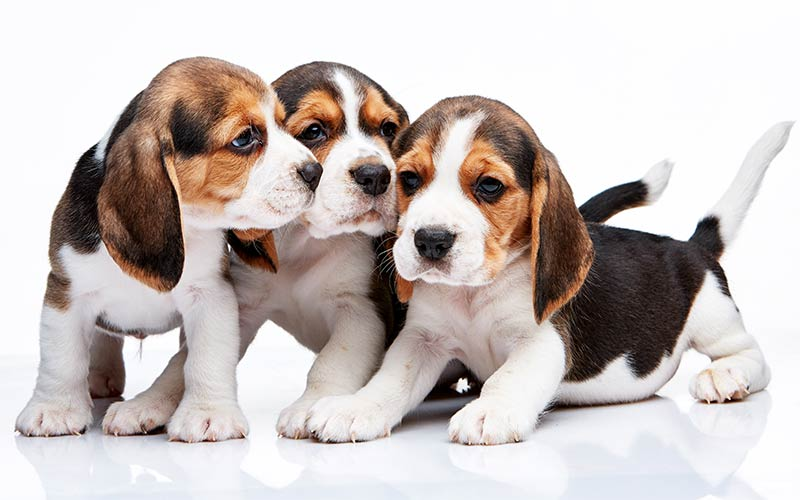 AKC Dog Breeds - The Beagle