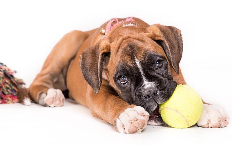 AKC Dog Breeds - Boxer