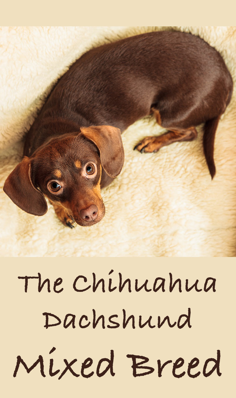 Chiweenie Your Tiny Chihuahua Dachshund Mix