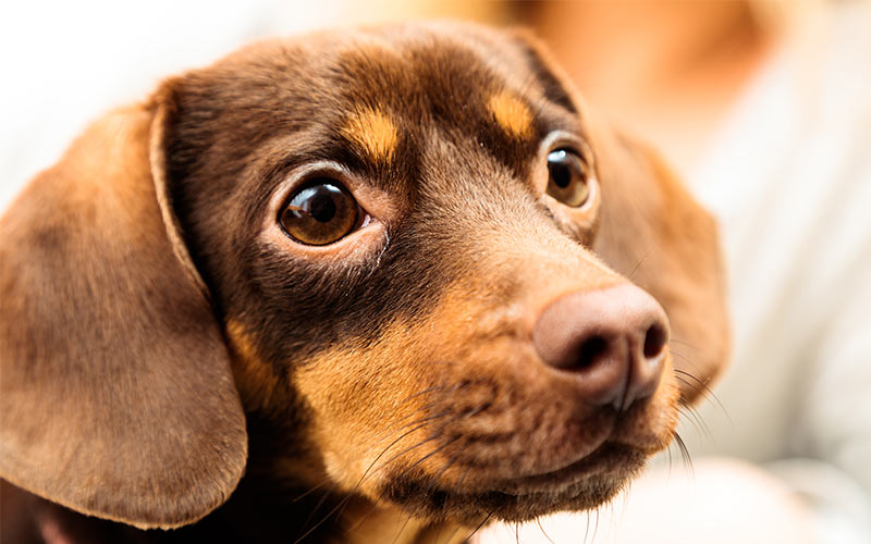 The Chihuahua Dachshund Mix - The Chiweenie