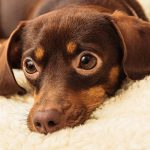 Chihuahua Dachshund Mix – A Guide To The Chiweenie