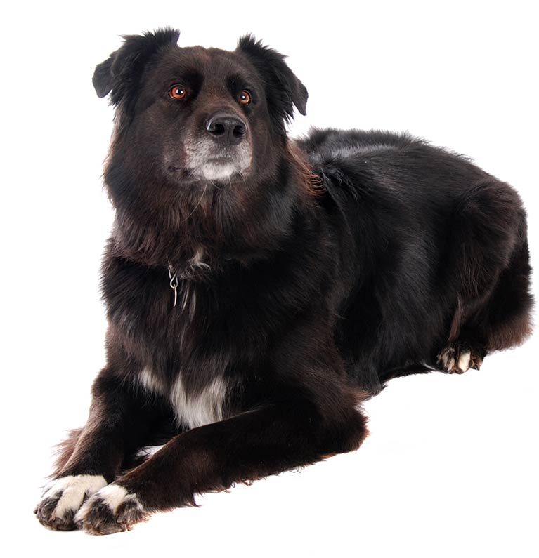 your complete guide to the Border Collie German Shepherd Mix dog!