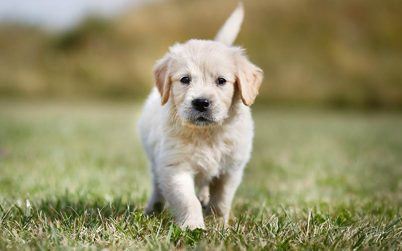 AKC Dog Breed - Golden Retriever