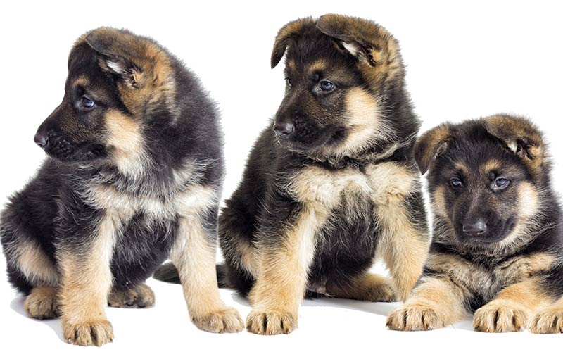 AKC German Shepherd Dog Breed