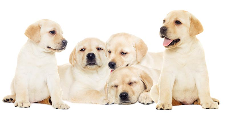 Top AKC Dog Breeds - The Labrador Retriever