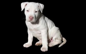 The 300 Best Pitbull Names