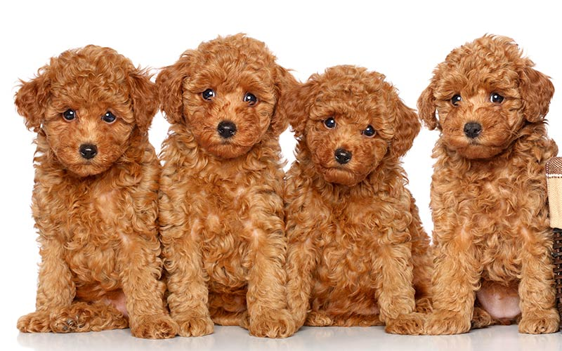 AKC Dog Breeds - Poodles