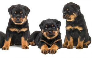 Rottweiler Names – 100 Awesome Ideas For Naming Your Rottie