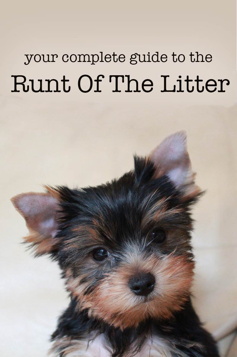Runt of the litter - a guide to runt puppies