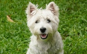 The Westie – A Guide To The West Highland White Terrier