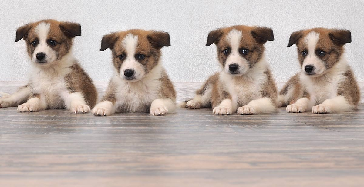 Where To Buy A Dog Or Puppy A Guide To Reputable Dog Sellers
