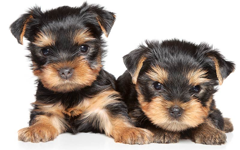 AKC Dog Breeds - Yorkshire Terriers