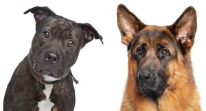 German Shepherd Pitbull Mix – A Complete Guide to this Unusual Cross