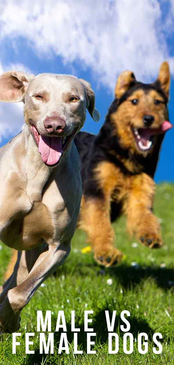 Male Vs Female Dogs: Should I Choose A Boy Dog Or Girl Dog?