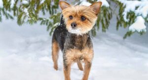 Chorkie – A Guide to Yorkie Chihuahua Mix Breed Dogs