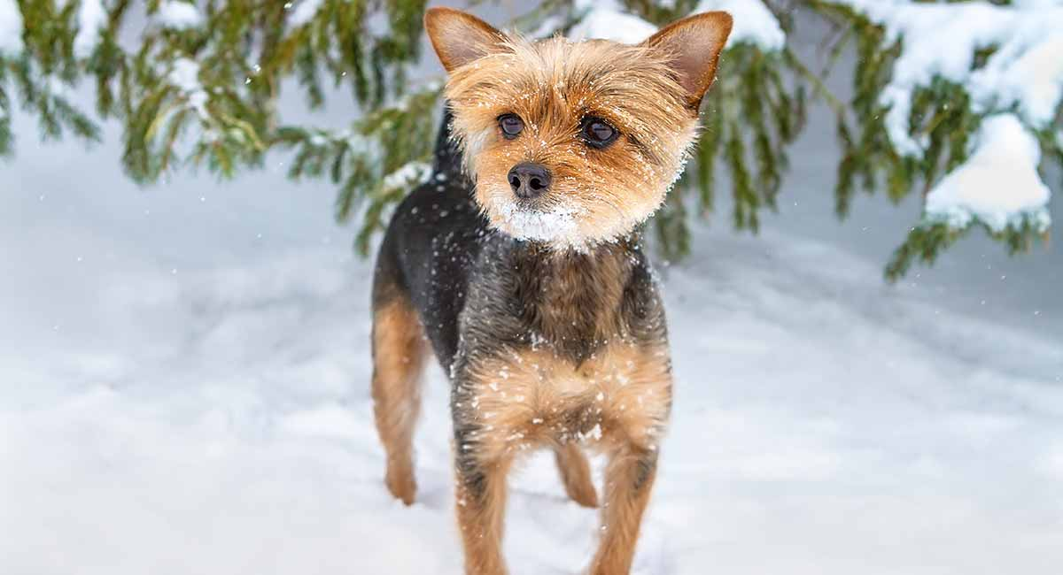Chorkie , A Guide to Yorkie Chihuahua Mix Breed Dogs