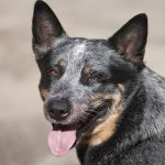 Blue Heeler – A Complete GuideTo The Australian Cattle Dog
