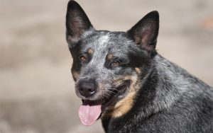 Blue Heeler – A Complete GuideTo The Australian Cattle Dog