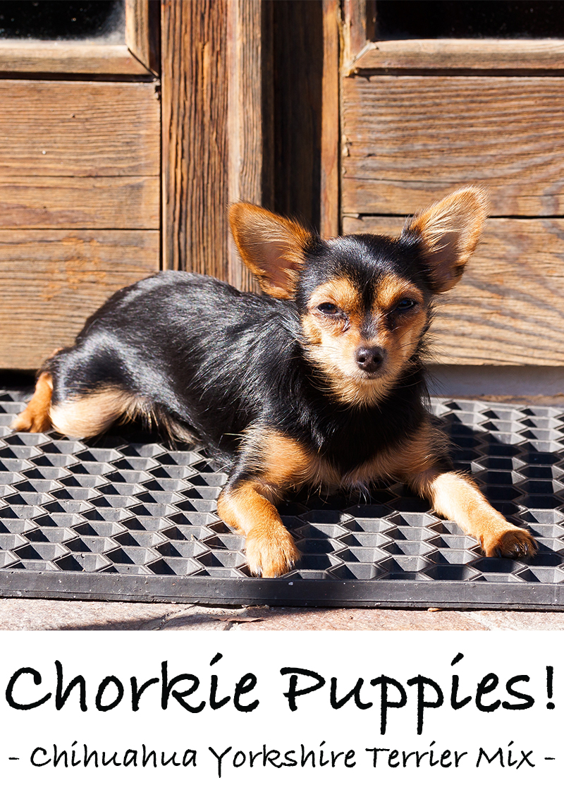 Chorkie - A Guide to Yorkie Chihuahua Mix Breed Dogs