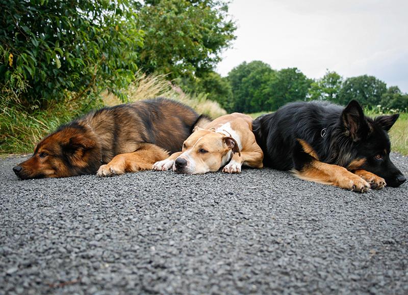 Adopt a Senior  Almost Home Dachshund Rescue Society