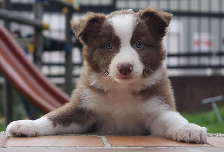 what is inbreeding and how does it affect dogs like this border collie