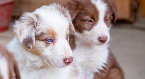 Male Vs Female Dogs: Should I Choose A Boy Or Girl?