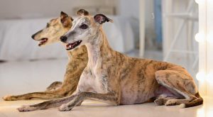 Beautiful brindle whippets