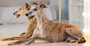 The Whippet: Dog Breed Information and Tips