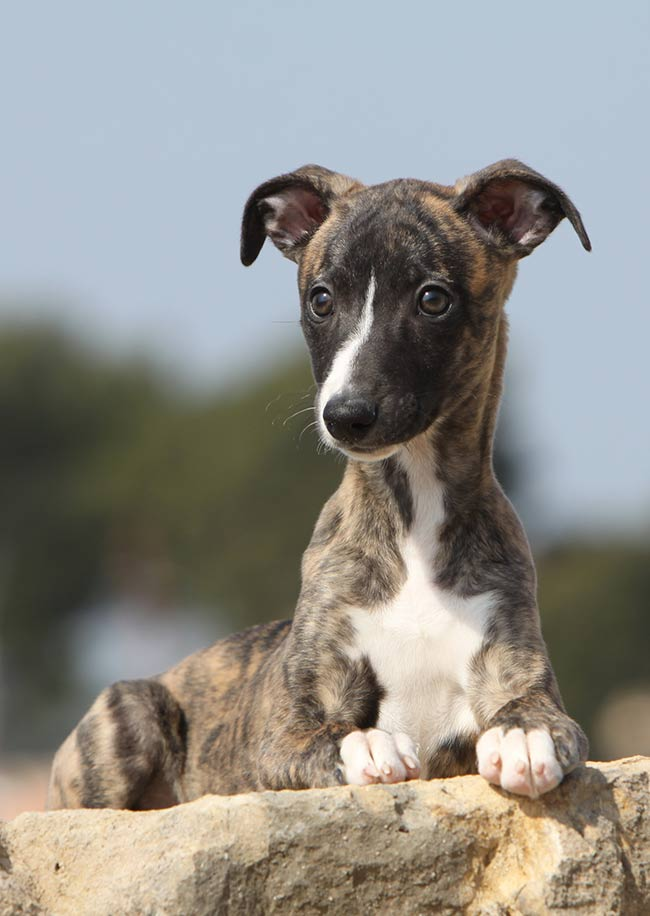 Brindle Dog Breeds 20 Beautiful Pups With A Stunning Coat