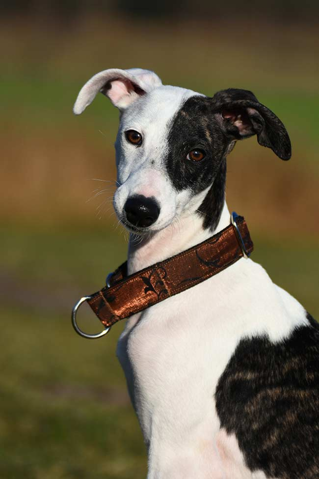 Whippet colors can be very varied. They often have white patches