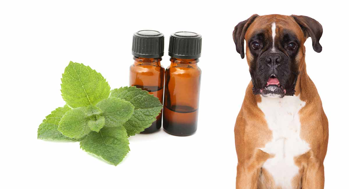 peppermint oil and dogs